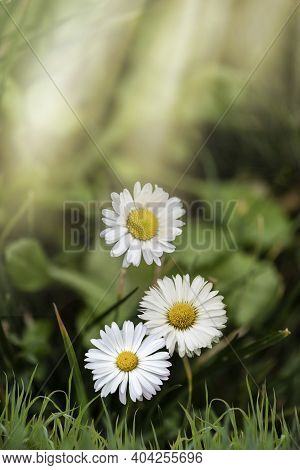 Beautiful Daisies In The Sun. Spring Bright Landscape With Daisy Wildflowers In The Meadow. Spring A