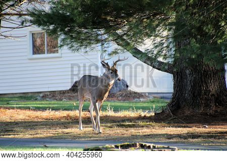 Large Eight Point Buck Strolling Through The Side Yard Of A Rural Home (best At Smaller Sizes.)