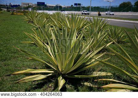 Agave Angustifolia Plant