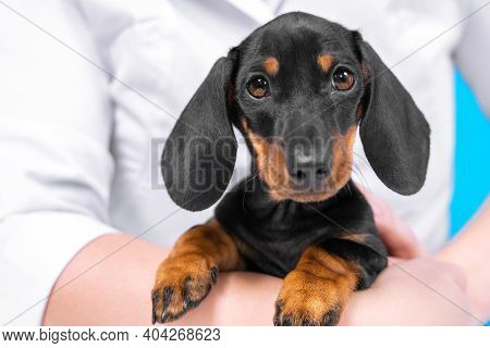 Cute Obedient Dachshund Puppy Sits Quietly In Arms Of Owner In Shirt Or Veterinarian In Professional