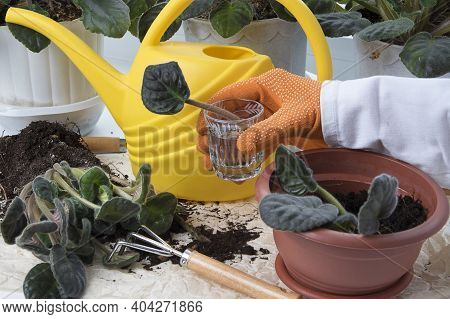 Breeding Plants At Home. Propagation Viola Flowers By Leave. Female Hands Holding Glass With Leaf Of