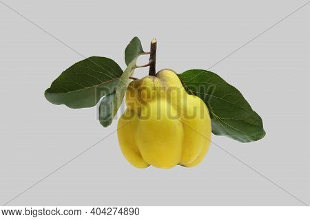 Ripe Yellow Quince Tree Fruit Isolated On Gray Background.