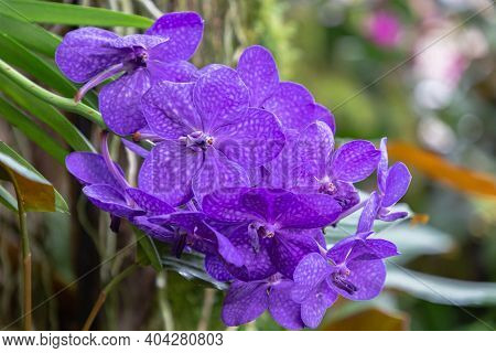 Vanda Orchid. Orchid Flower In Orchid Garden At Spring Day. Orchid Flower For Design. Beautiful Orch