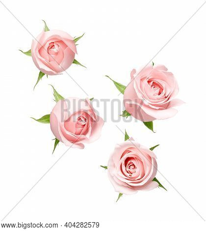 Different Angle Of Pink Rose Isolated On White Background