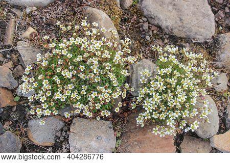 Small White Flowers Nestled Among Gray Stones. Short Northern Summer. Live, Fresh Flowers Grow On St