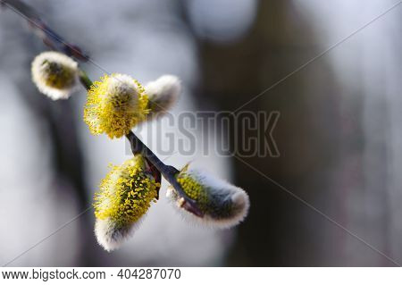 Willow Blossoms With Yellow Fluffy Flowers. Close Up Of Goat Willow Blossom, Yellow Pollen Covered C