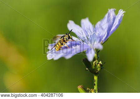Episyrphus Balteatus Gummy Hoverfly On A Bright Blue Chicory Flower. Yellow Striped Fly Syrphidae On