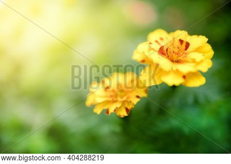 Closeup View Of Natural Yellow Flower In Garden Against Green Blur Background And Sunlight With Copy