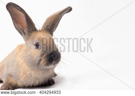 Fluffy Brown Pet Rabbit On A White Background With A Place To Text Copy Space.