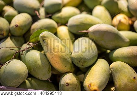 Background​ And​ Textured​ Many Green Mangoes Are Harvested.plump Shape With Curved Solid Cone. Thai