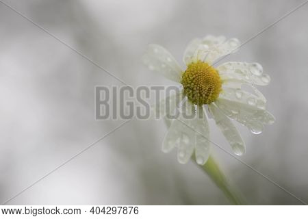 Closeup Of A Beautiful Yellow And White Marguerite. Daisy Flower With Water Drops