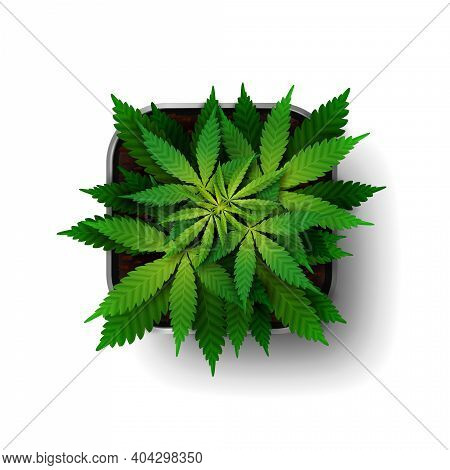 The Cannabis Plant At The Growing Stage Grows In A Square Pot, Top View. Green Marijuana Bush Isolat