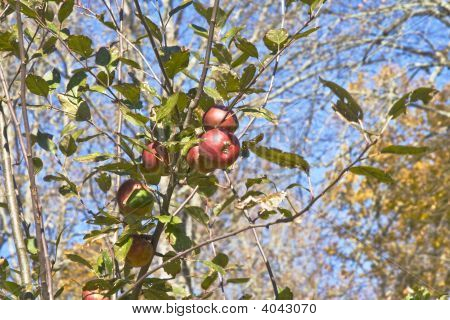 Red Apple In Apple Tree