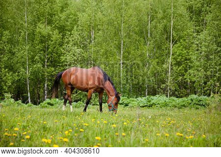 The Horse Grazes In The Meadow In Summer. Red-haired Horse Eating Grass In The Pasture. Horse In The