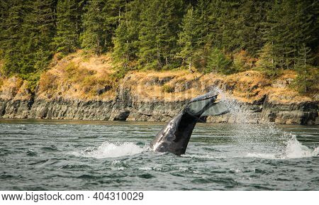 Seascape With Whale Tail. The Humpback Whale Tail Dripping With Water.