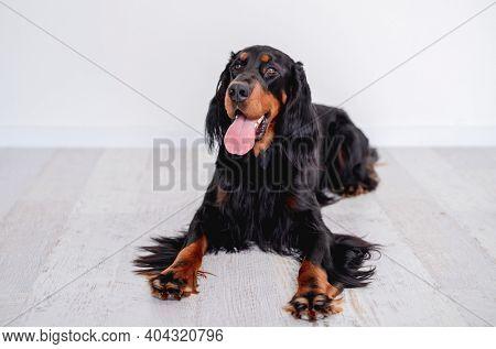 Scottish setter dog resting on floor
