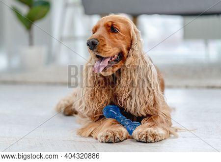 English cocker spaniel dog at home