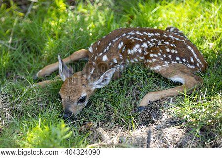 Nature Animals Concept. Baby Roedeer Capreolus. Newborn Deers Bambi And Wild Spring Animals Concept.