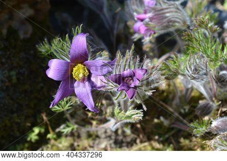 Slovakian Pasqueflower - Latin Name - Pulsatilla Slavica (pulsatilla Halleri Subsp. Slavica)