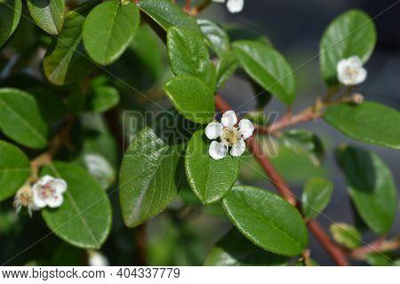 Bearberry Cotoneaster Major - Latin Name - Cotoneaster Dammeri Major