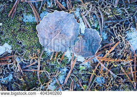 Abstract fallen aspen leaf on ground in hoarfrost