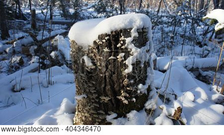 Old Tree Stump In The Forest, Snow Cap On A Tree Stump, Winter