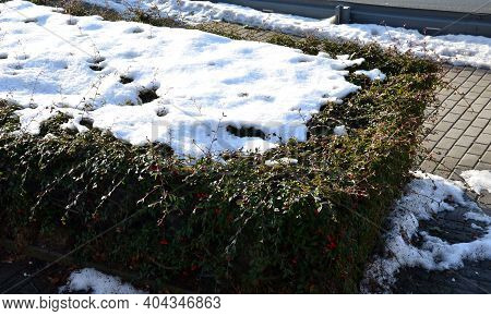 Ground Cover Evergreen Undemanding Shrubs Often Used In Cities. Evergreen Cut Into Low Flat Blocks C