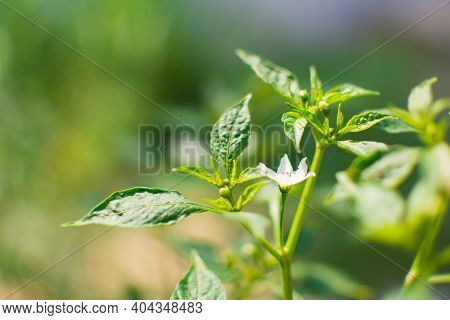 Close-up of chilli leaves and chilli flower with blur image. They were planted on the ground.  It is