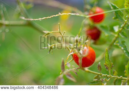 Close-up Of Red Tomato On The Farm. They Have Green Leaves And Small Stem. This Is Organic Vegetable