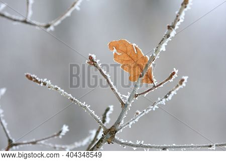oak twig with alone dry leaf in hoarfrost
