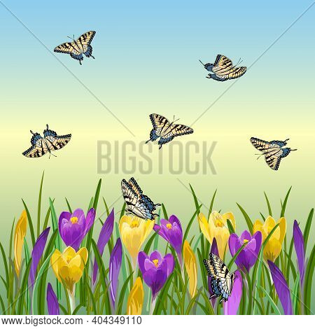 Illustration With Crocuses And Butterflies.multicolored Crocuses And Butterflies On A Colored Backgr