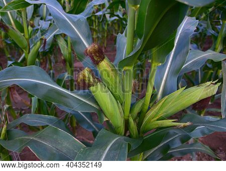 Corn On The Green Stalk In The Corn Field. Young Maize Or Sweetcorn Plants. Cornfield Texture, Backg