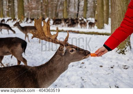 Man Is Hand Feeding Fallow Deer In Garden Of Medieval Castle Blatna, Beautiful Deer With Branched Ho