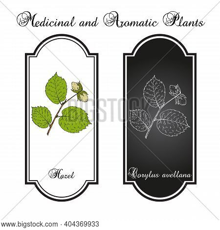 Common Hazel Corylus Avellana Nuts With Leaves. Hand Drawn Botanical Vector Illustration