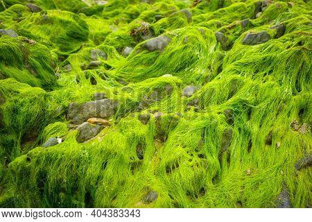 Green Algae On A Rock. Closeup Background Texture