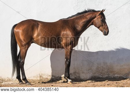 Beautiful Brown Gelding Thoroughbred Standing On The Sand In Freedom With White Background