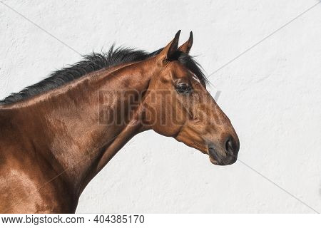 Facial Portrait Of A Beautiful Brown Thoroughbred Horse In Freedom With White Background