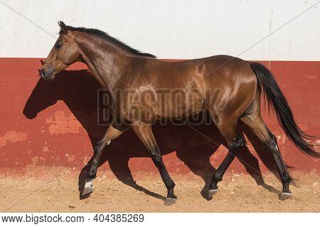 Beautiful Brown Gelding Thoroughbred Horse Trotting In Freedom