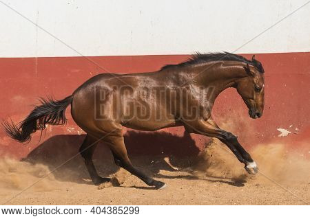 Beautiful Brown Gelding Thoroughbred Horse Galloping In Freedom