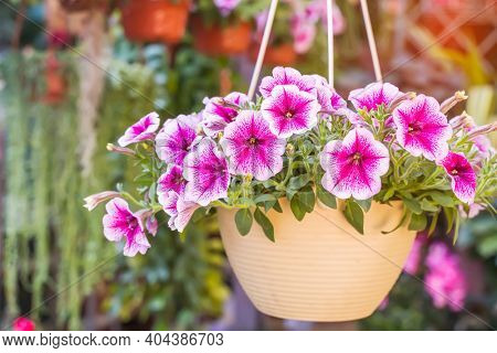 colourful petunia flowers hanging in garden