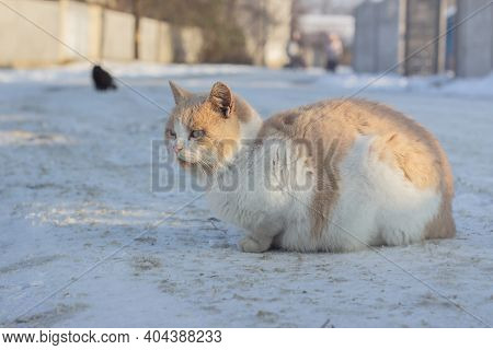 Red Beautiful Fluffy Homeless Cat Sits On The Snow In Winter. Animal Welfare Concept, Animal Shelter
