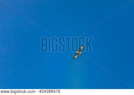 Seagulls Flying In The Blue Sky. Marine Birds. Seagull Flying In The Sky. Single Seagull Flying In A