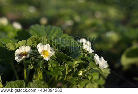 A Bee Pollinates A Flowering Strawberry Bush, Gardening. Growing Berries, Summer Sunny Day. Copy Spa