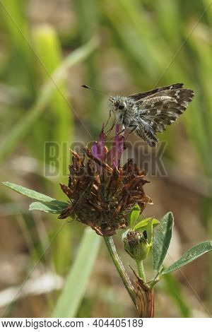 Carcharodus Alceae, The Mallow Skipper, Is A Butterfly Of The Family Hesperiidae. , Beatiful Photo