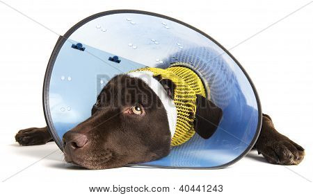 Injured Dog with cone
