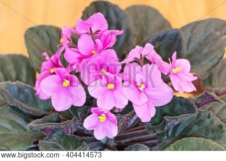 Beautiful African Violet With Pink Flowers Close Up. How To Grow African Violets At Home Concept.