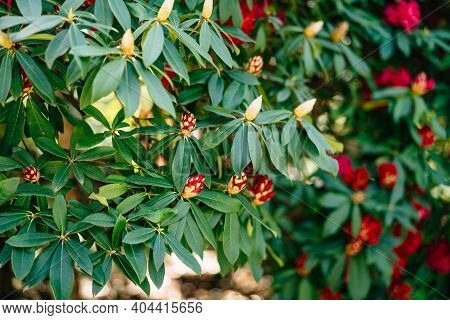 Close-up Of Fragrant Buds Of Red Rhododendron Azalea In Green Leaves.