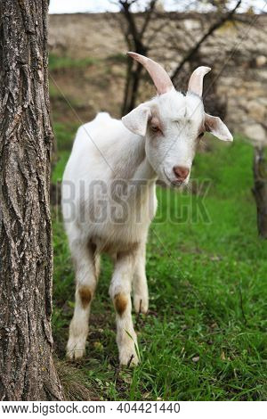 Goat. Portrait Of A Goat On A Farm In The Village. Beautiful Goat Posing.