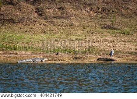 Agra, Uttar Pradesh, India - February 18, 2011: Chambal River. Gharial Sneaking Up On Bird At Shorel