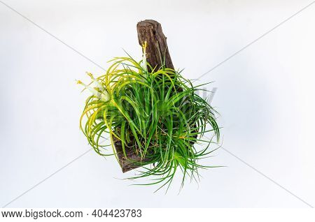 Air Plant - Tillandsia With White And Yellow Flowers Isolated On White Background.